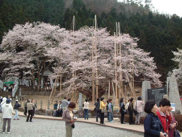 ある日の淡墨桜