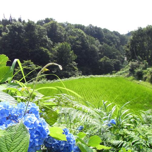 【夏の眺め】青々とした棚田の畔には、季節の花々が咲き誇り、初夏の里山を彩ります。
