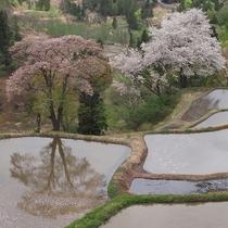 儀明の棚田の山桜