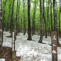 残雪の美人林