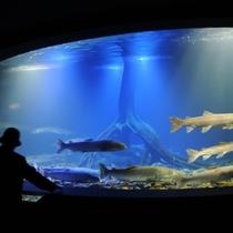 【北の大地の水族館】幻の魚、イトウの迫力を間近で感じることができます。