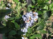 ケルンの畑で作ったブルーベリーはジャムでヨーグルトにかけています。