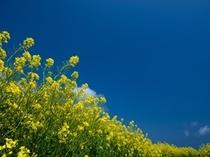 黄色い菜の花に蒼い空・・・色鮮やかな風景です!
