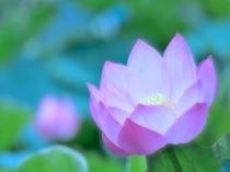 まるで絵にかいたような蓮の花*