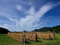 稲刈りの天日干しの風景