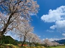 満開に咲く、桜並木。お花見にオススメです★