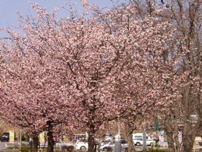 伊豆高原駅前 大寒桜