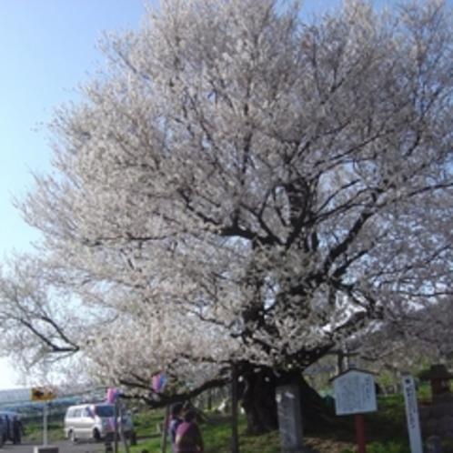 渋温泉周辺にはたくさんの桜の名所が!