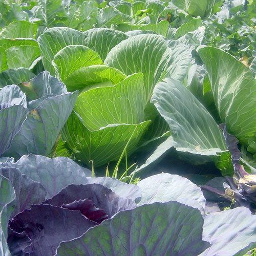 自家製の安心野菜♪