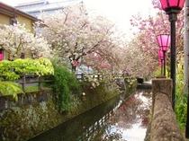 中野川八重桜 昼