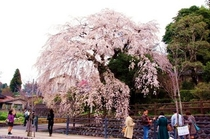 大原枝垂れ桜 昼