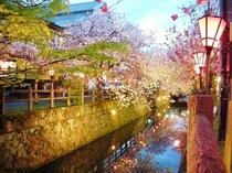 中野川八重桜 夜2
