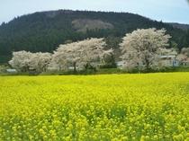 川渡河川敷 菜の花