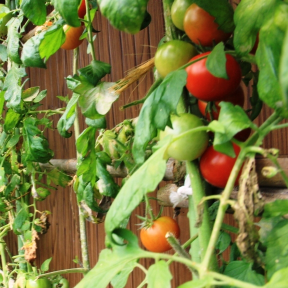 食材-野菜_トマト