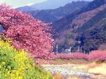 河津桜、毎年2月上旬より3月10日迄河津桜祭が開催されます。