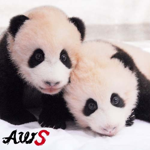 【周辺観光】アドベンチャーワールド・双子パンダ