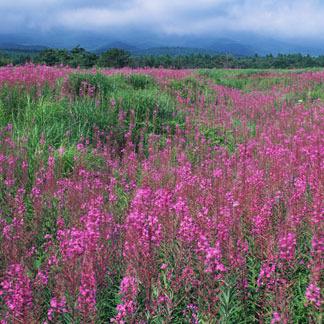 上ノ平高原のヤナギランのお花畑、キレイですよ〜♪