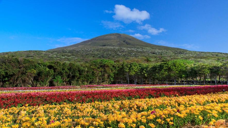 *八形山とフリージア 島の魅了がギュッとつまったフリージアまつり 一社)八丈島観光協会