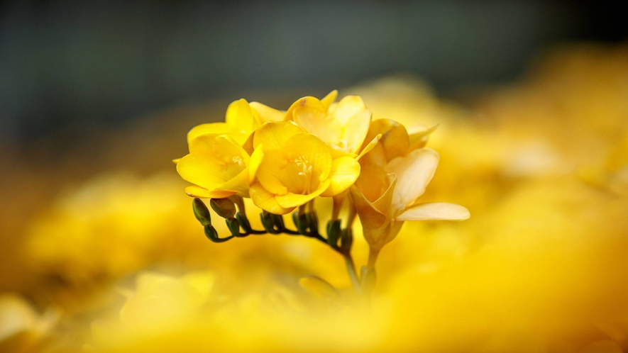 *フリージアとはアヤメ科のフリージア属の球根植物。色によって香り違います! 一社)八丈島観光協会