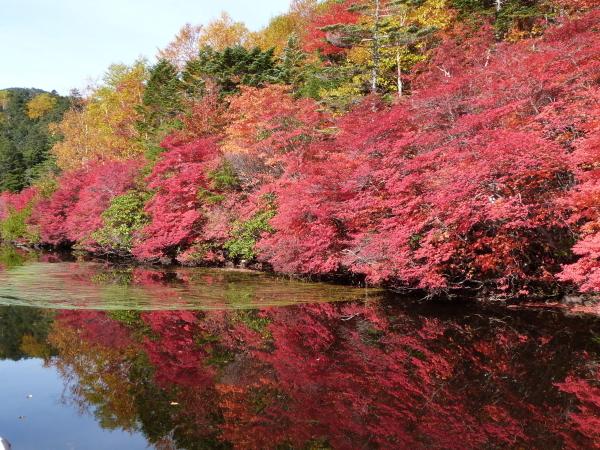 【秋】10月初旬 「白駒の池」の紅葉です