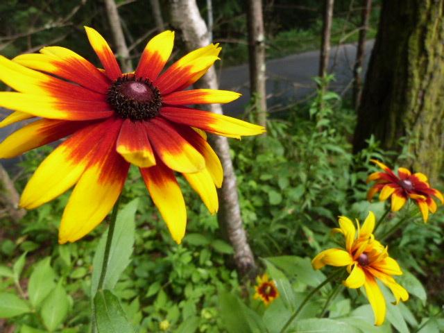 【夏】8月 ルドベキアの花が咲きます