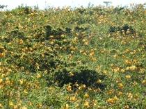 【夏】7月中旬 車山のニッコウキスゲが咲き誇っています