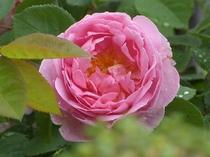 【春】6月下旬 バラクラ英国庭園のバラです