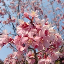 3月30日撮影建長寺の桜