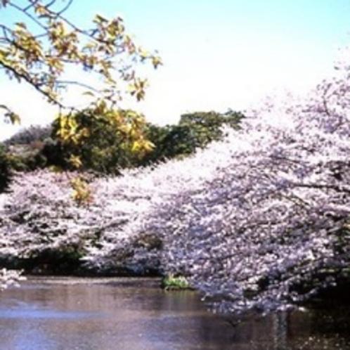 鶴岡八幡宮 源氏池の桜
