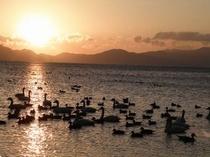 猪苗代湖の白鳥