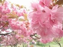 昭和の森の八重桜・ピンクが鮮やか