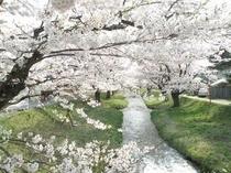 観音寺川の桜・1