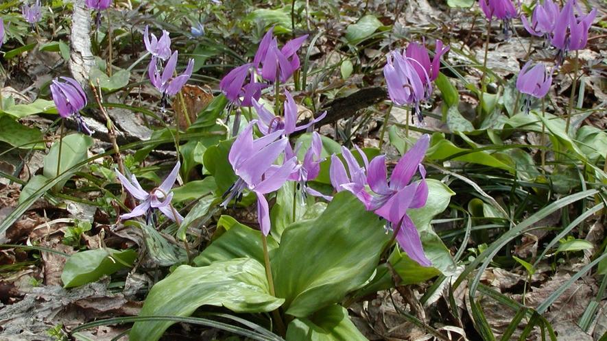 4月に咲くカタクリの花は登山散策で群生しています
