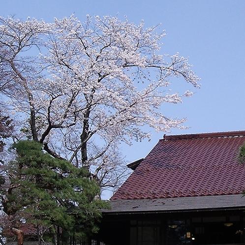 南昌荘 山桜
