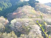 修善寺奥の院 豆桜