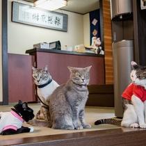 *看板猫大集合!人懐っこい看板猫たちです、お部屋にもお邪魔することも…
