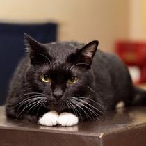 *ヤマトくん/ようこそ、中村屋旅館へ。看板猫の黒猫ヤマトですにゃ