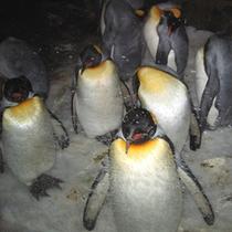 アドベンチャーワールド(ペンギン)