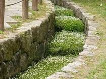 ホテル敷地内の小川に咲く梅花藻の花