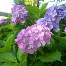 合歓の郷の紫陽花(6月下旬〜7月上旬)