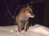雪の中のキツネ