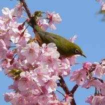 めじろと桜