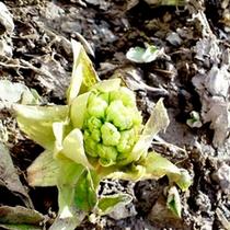 山に囲まれた当館ならでは!春には山菜採りのイベントも開催しております★お気軽にご参加ください。