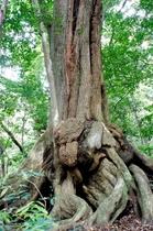 多久頭魂神社のクスノキの巨木