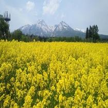 大洞原の菜の花