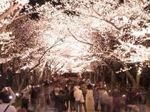 【高田城】・夜のさくらロード