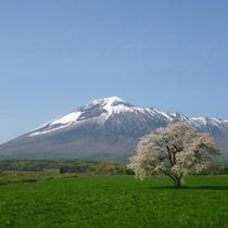 上坊牧野の一本桜と岩手山