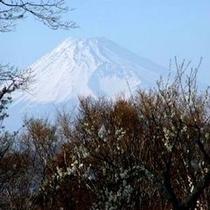 【修善寺梅林から見る霊峰富士】