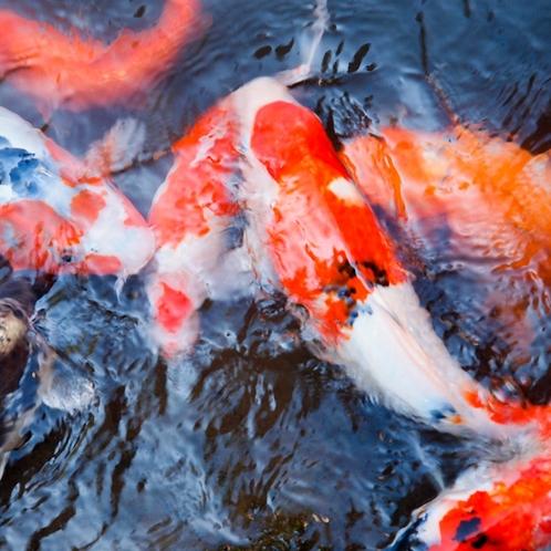 敷地内の池では錦鯉をご覧いただけます。