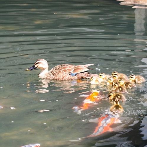 【池泉庭園 華の池】錦鯉が優雅に泳ぎます。カワセミの姿を見ることも。